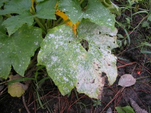 Powdery_mildew