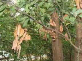 Black Twig Borer Damage