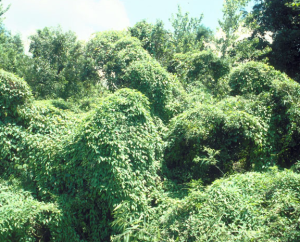 Invasive vines