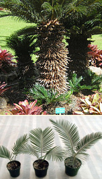 Sago Palm Pups